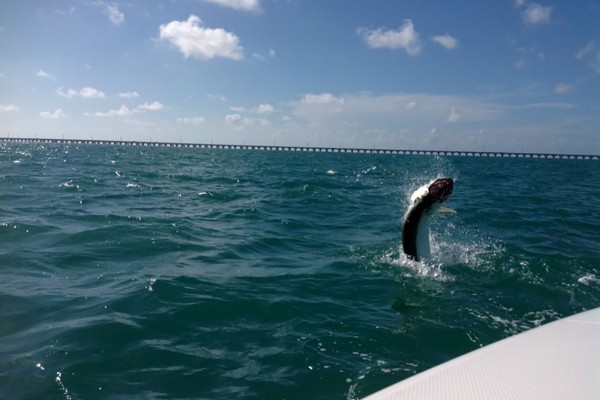 Tarpon caught on the Final Final fishing charter at Hawks Cay Resort in the Florida Keys