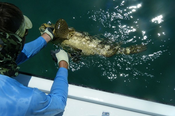 Grouper caught on I'm Hooked fishing charter at Hawks Cay Resort in the Florida Keys